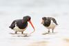Pied Oystercatchers (0ystercatcher) Tags: australianpiedoystercatcher haematopuslongirostris bird mogareeka nsw australia endangeredinnsw taxonomy:common=australianpiedoystercatcher taxonomy:binomial=haematopuslongirostris geo:country=australia