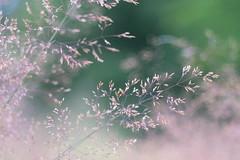 Sommergras (g e g e n l i c h t) Tags: gras ähren sommer bokeh schärfentiefe carlzeisstessar50mmf28 lumixgx7 natur pflanzen