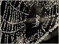 In a Web of Light... (Ody on the mount) Tags: anlässe bokeh em5 fototour gegenlicht hdr licht lichtreflexe mzuiko6028 makro nahaufnahme omd schwäbischealb spinne spinnennetz tiere bw monochrome sw