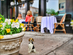 The Lunch Bunch (floralgal) Tags: alfrescodining ryenewyork purchasestreet lunchonpurchasestreet thelunchbunch twoladieshavinglunch diningonpurchasestreet beagleonpurchasestreet pet dog beagle beaglewiththeladies
