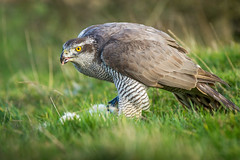 Goshawk A mean Hunter (Sean's Wild About Wildlife) Tags: bord birdofprey goshawk hunter big hooked beak uk outdoors