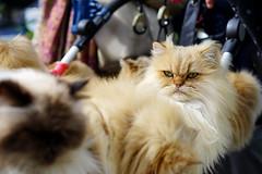 One of ten (Eric Flexyourhead) Tags: omotesando 表参道 shibuya shibuyaku 渋谷区 tokyo 東京 japan 日本 city urban detail fragment cat chat katze kat katt gatto neko 猫 nekochan 猫ちゃん cute kawaii かわいい fuzzy fluffy fusafusa ふさふさ mofumofu もふもふ shallowdepthoffield sonyalphaa7 zeisssonnartfe55mmf18za zeiss 55mmf18