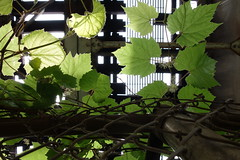 canopy (KevinIrvineChi) Tags: above railroad light urban chicago abstract green leaves train fence photography photo leaf rust cta under tracks rusty chainlink photograph greenery backlit chainlinkfence lush ravenswood bowmanville chicagoist ctabrownline