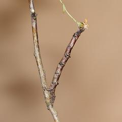 Ennomos quercinaria - August Thorn larva (Roger Wasley) Tags: macro gloucestershire caterpillar moths british larva thrupp augustthorn ennomosquercinaria