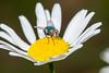 Fly Macro (Scott Michaels) Tags: macro fly nikon kirk d600 compoundeye nikon105mmvr flashbracket tc17 sb400 sc28