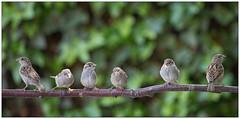 House Sparrows (juvenile and female) - Huismussen - Passer domesticus (Martha de Jong-Lantink) Tags: vogels mus passerdomesticus vogel 2015 mussen huismus haussperling housesparrowjuvenile vogelproject vogelprojectachterpad huismusjuveniel