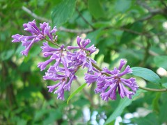 Lilac II (alice_pav) Tags: green nature geotagged russia sony lilac pavlovsk