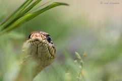 Large Whip Snake (Dolichophis caspius, pijlslang) (Rob Blanken) Tags: bulgaria slangen nikond810 dolichophiscaspius largewhipsnake sigma180mm128apomacrodghsm pijlslang diversendieren