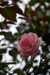 roses (×0) Tags: flowers roses plants nature lumix blossoms sigma panasonic 60mm f28 dn gm1