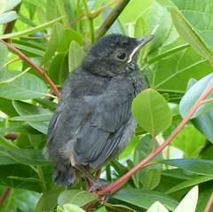 Gray Catbird fledgeling! (tapaculo99) Tags: birds vermont aves nesting catbird graycatbird dumetellacarolinensis mimid