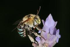 Bee Story (Jenny Thynne) Tags: insect lavender australia brisbane bee queensland hymenoptera pollinator bluebandedbee amegilla cingulata
