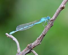 Blue Damselfly (Camera_Guy2010) Tags: blue canada macro calgary nature closeup insect nikon wildlife noflash alberta pointandshoot damselfly nikonfm2 p530 nikonp530