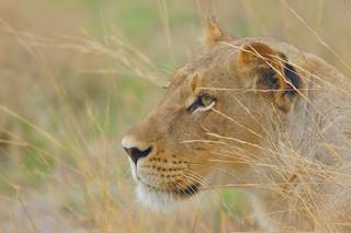 Focused on prey, Lioness in Moremi Game Reserve (Okavango Delta), Botswana