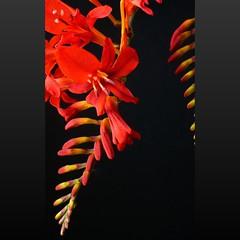 crocosmia lucifer (peltier patrick) Tags: flowers red flower macro fleur fleurs plante garden rouge berry jardin crocosmia couleur carré graphisme tige fondnoir hampe crocosmialucifer fleursrouges tigeflorale hampeflorale peltierpatrick