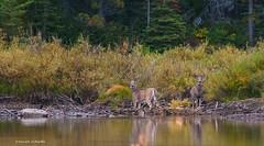 The deer by the lake (Photosuze) Tags: two nature animals montana wildlife pair lakes deer males glaciernationalpark bucks whitetaileddeer