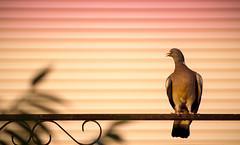 Une place au balcon (mberaudias) Tags: soleil pigeon coucher balcon oiseau
