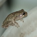 Tree Frog (Hyla sp.)