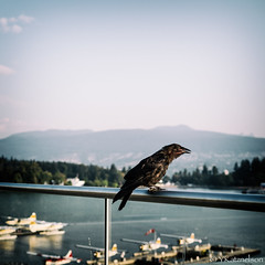 Vancouver Raven (yumbert) Tags: vancouver raven coalharbor seawheeze