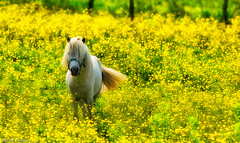 Saint-Malo - Poney (MichelGuérin) Tags: © horse canada nature cheval exterior pony québec extérieur qc saintmalo chevaux poney 2015 d7100 summeractivity lr5 nikond7100 michelguérin clubdesdix nikcollection googlenikcollection lightoom5 tamron150600mm tousdroitsréservésallrightsreserved activitédété