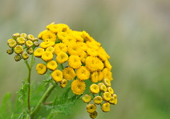 Common Tansy (Tony Steele,Oxford,UK) Tags: tonysteelephotography burgessfieldnatureparkoxford commontansy