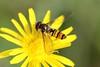Hover fly (mgrimm82) Tags: deutschland leipzig sachsen animalia arthropoda syrphidae diptera insecta episyrphus episyrphusbalteatus marmaladehoverfly hexapoda pterygota holzhausen hainschwebfliege syrphinae colmberg syrphini brachycera pyamazweefvlieg marmaladefly snorzweefvlieg taxonomy:class=insecta taxonomy:kingdom=animalia taxonomy:order=diptera taxonomy:family=syrphidae taxonomy:genus=episyrphus taxonomy:phylum=arthropoda taxonomy:subclass=pterygota taxonomy:suborder=brachycera taxonomy:subfamily=syrphinae taxonomy:tribe=syrphini muscomorpha gemeinewinterschwebfliege taxonomy:binomial=episyrphusbalteatus taxonomy:subphylum=hexapoda taxonomy:species=balteatus taxonomy:common=marmaladefly taxonomy:common=pyamazweefvlieg taxonomy:common=marmaladehoverfly taxonomy:common=snorzweefvlieg taxonomy:infraorder=muscomorpha мармеладнаямуха taxonomy:common=hainschwebfliege taxonomy:common=gemeinewinterschwebfliege taxonomy:common=мармеладнаямуха inaturalist:observation=1823220