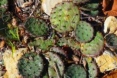 Prickly pear (U.S. Fish and Wildlife Service - Midwest Region) Tags: prairie kansas city cactus fall seasons flower plant missouri mo autumn