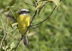 Social Flycatcher (Myiozetetes similis) (Gmo_CR) Tags: myiozetetessimilis socialflycatcher mosquerocejiblanco pechoamarillo costarica patiodeagua coronado