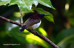 IMG_7171 Purple-rumped Sunbird-Male (Leptosoma zeylonica) (vlupadya) Tags: greatnature aves fauna indianbirds purple rumped sunbird male leptocoma kundapura karnataka