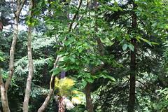 Diospyros kaki-05 (The Tree Library (TreeLib.ca)) Tags: diospyroskaki japanesepersimmon
