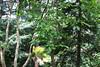 Diospyros kaki-05 (Tree Library) Tags: diospyroskaki japanesepersimmon