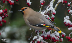 Landscape Version (Bohemian Waxwing) (The Owl Man) Tags: s