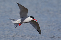 South American Tern - Sterna hirundinacea - Charrán sudamericano (Paul B Jones) Tags: southamericantern sternahirundinacea charránsudamericano chiloéisland isladechiloé chile bird aves oiseau vogel animal nature wildlife wild canoneos1dmarkiv ef800mmf56lisusm adult breedingplumage alternateplumage southamerica southamerican südamerika amériquedusud sudamerica chilean chilenos photo photograph image picture trip travel birdschile tour tourism ecotourism tourist birding birdwatching flying flight bif