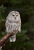 Barred Owl (ayres_leigh) Tags: owl barred whitby canon bird nature animal