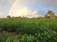 Rainbow over the rain forest (www.sustainableamazon.org) Tags: rainbow cassava manioc yuca manihotesculenta allianceforasustainableamazon fincalaspiedras amazon rainforest southamerica peru madrededios iphone agriculture sustainability sustainabletropicalagriculture sustainableagriculture