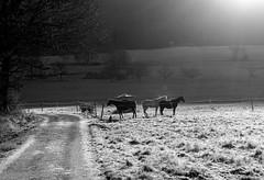 December Horse Sun Bathing (christiane.grosskopf) Tags: backlight gegenlicht silhouette horses pferde december dezember koppel meadow frost sunlight