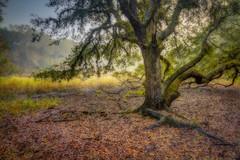Rugged oak, gentle light (MichaelSOwens) Tags: hdr live oak myakka river state park sarasota florida diamondclassphotographer flickrdiamond