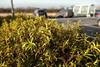 Bush (croslandadam) Tags: bush carpark waitrose supermarket sigma dp1 merrill plant depth field