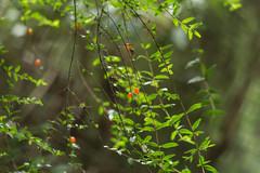 Prickly Currant ((arteliz)) Tags: bushdiscoverywalk gembrook melbourne gembrookbushlandpark walkabouteducation arteliz artelizphotography australia adventure exploring coprosmaquadrifida pricklycurrant tucker bushtucker bushfood plant plants flora australianplants australianbushfood