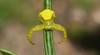 Thomisus spectabilis (dustaway) Tags: arthropoda arachnida araneae araneomorphae thomisidae thomisusspectabilis crabspider australianspiders lismorerainforestbotanicgardens northernrivers nsw nature australia