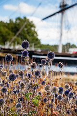 Fall in Greenwich (Alpine Prairie Photography) Tags: cuttysark greenwich london purpleflowers seedpods ship teaclipper