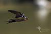 Welcome Swallow (Vas Smilevski) Tags: welcomeswallow swallowsinflight swallows hirundoneoxena hirundinidae birds bird birding avian feathers birdsinflight bif flight wildlife wildlifephotography animals vsimages vassmilevski australianbirds australia nsw nature ngc getolympus m43 olympusomdem1 mzuiko300mmf4pro omd em1 300mm olympus olympusau olympusinspired