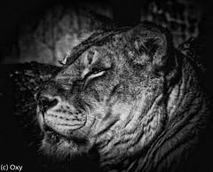 Queen of the shades (konstantin oxy) Tags: löwe löwin tier animal liones lion zoo blackandwhite schwarzweis bw katze cat
