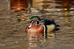 Drake wood duck (btcarr1970) Tags: woodduck drake canon7dmarkii canon tamron tamronsp150600mmf563divcusd nature naturephotography nassaucounty newyork longisland wildlife audubon