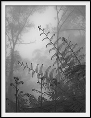 deep forest 2 (Andrew C Wallace) Tags: deepforest mist fog rain mountain domdomsaddle trees victoria australia ir infrared olympusomdem5 microfourthirds m43 blackandwhite bw