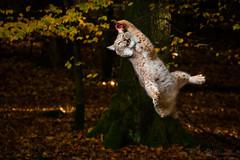 Gotcha (Cloudtail the Snow Leopard) Tags: luchs lynx katze cat feline animal tier säugetier mammal beutegreifer predator wildpark pforzheim