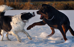 Tension (clé manuel) Tags: rottweiler border collie playing dogs fighting winter fight play snow action shot sunset hunde kampf sonnenuntergang schnee eis ice sony alpha tamron analogue