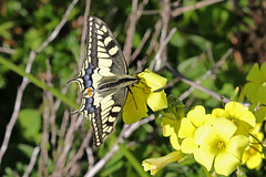 Swallowtail (Roy Lowry) Tags: isladeserta riaformosa swallowtail papiliomachaon oxalispescaprae bermudabuttercup butterfly