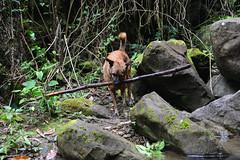 Perfect Stick (Bob Hawley) Tags: longfongwaterfall zhongliaotownship nikond7100 nantoucounty nikon2870mmf3545afd asia taiwan outdoors nature forest trees dogs taiwantugou pets rocks water playing sticks