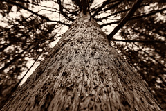Kelopuu / Deadwood (Tuomo Lindfors) Tags: tree suomi finland puu deadwood kuopio puijo kelo niksoftware viveza silverefexpro kelopuu theacademytreealley