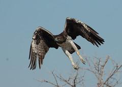 Martial Eagle Etosha Namibia TY_BB0T7026 (YOYO182) Tags: africa eagle raptor namibia birdofprey etosha martialeagle